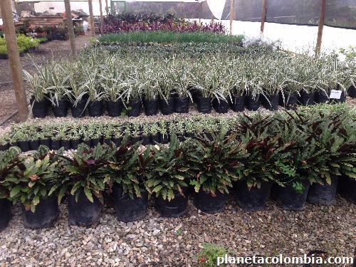 Viremam vivero producci n y venta de plantas ornamentales for Viveros forestales en colombia