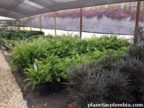 Viremam vivero producci n y venta de plantas ornamentales for Viveros medellin