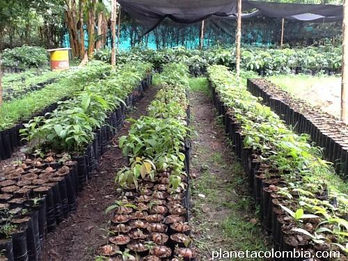 venta de rboles frutales injertados aguacate naranja y