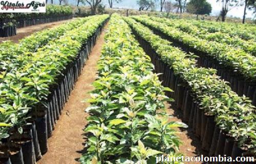 Vivero valentina ofrece todo tipo de rboles frutales for Viveros en colombia